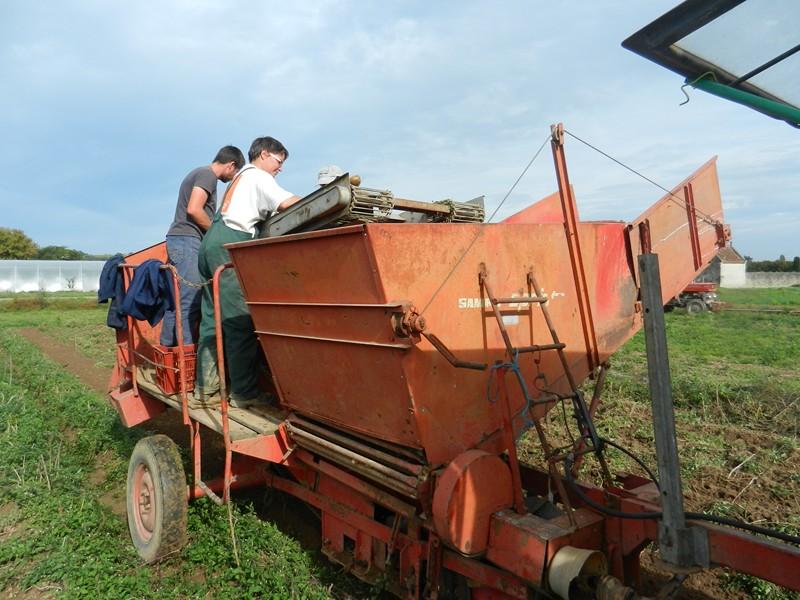 récolte de pommes de terre !